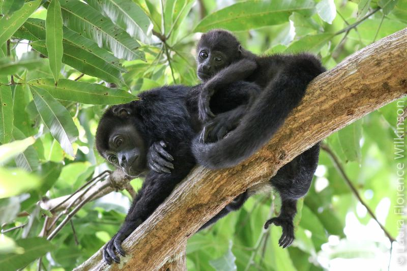 Howler monkeys captured by Laura Wilkerson, photographer, in our gardens!