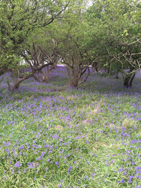 A carpet of late spring bluebells