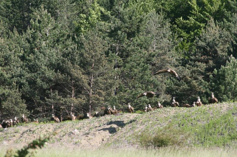 Les vautours viennent boire sur notre lac collinaire au dessus du gîte. Peut-être les verrez vous.