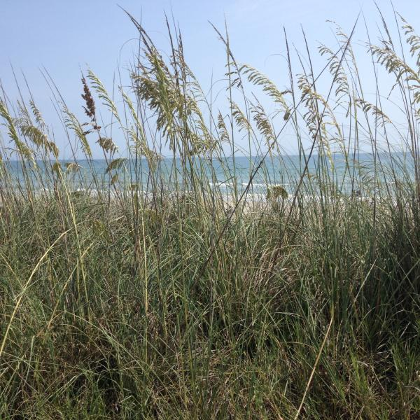 Sea Oats, a protected specie, abounds in the area