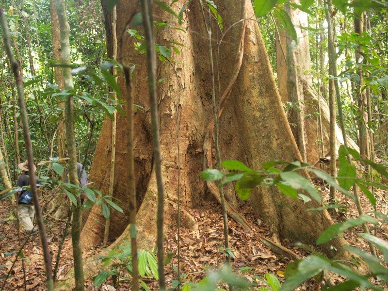 Virgin forest reserve Kapur
