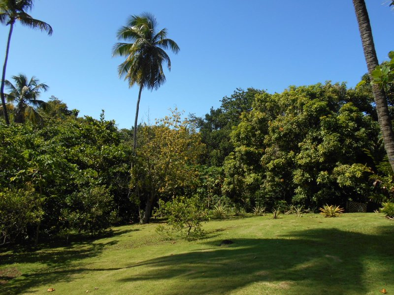 the backyard with fruit trees and pineapples !