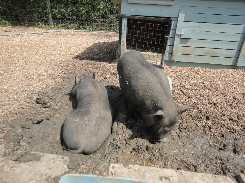 Our pot bellied pigs, Cooper and Coen.