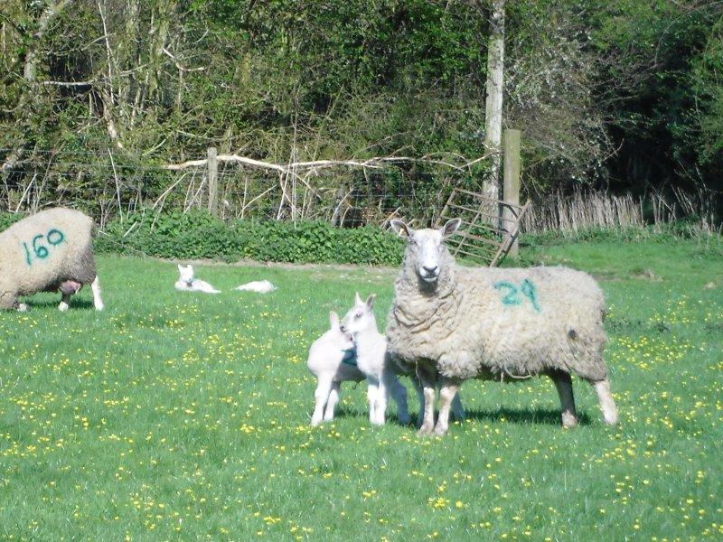 Spring Lambing at Fyfett Farm