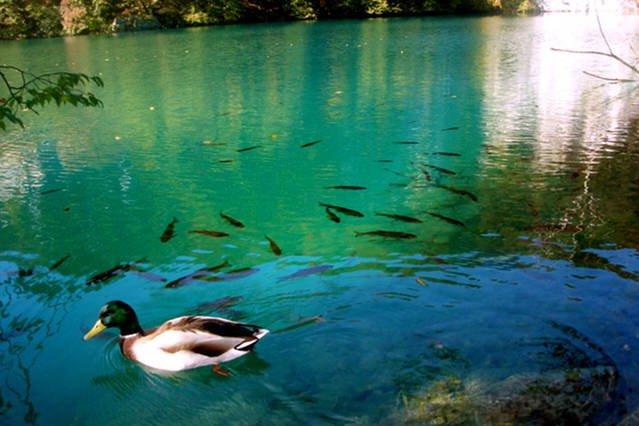 animaux habituels à voir dans le parc national des canards et des poissons.