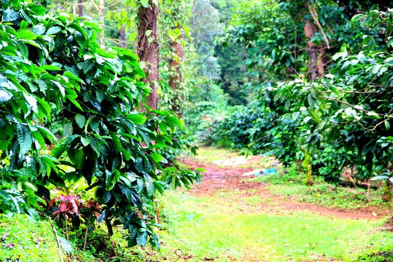 Coffee estate