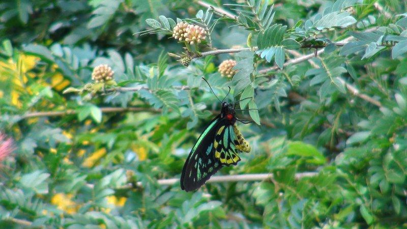 male cairns birdwing butterfly on calliandra