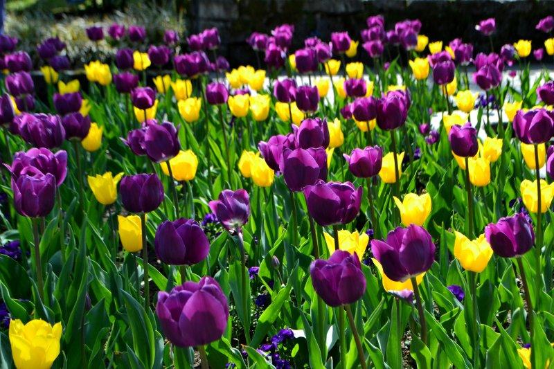 tulips in Villa Taranto