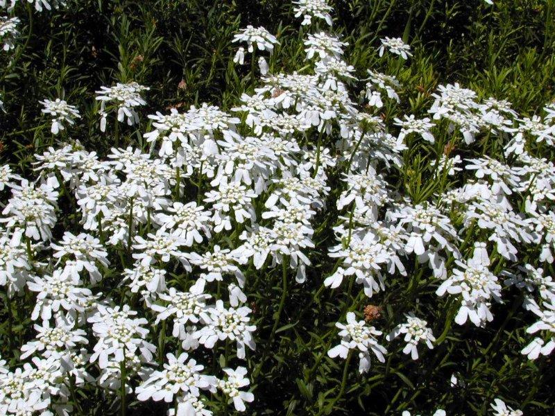 Alpinia garden