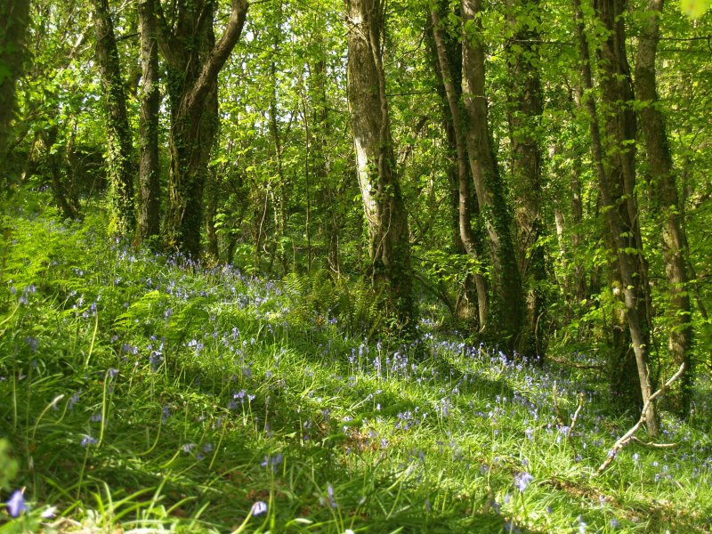 The Bluebells are out in May!