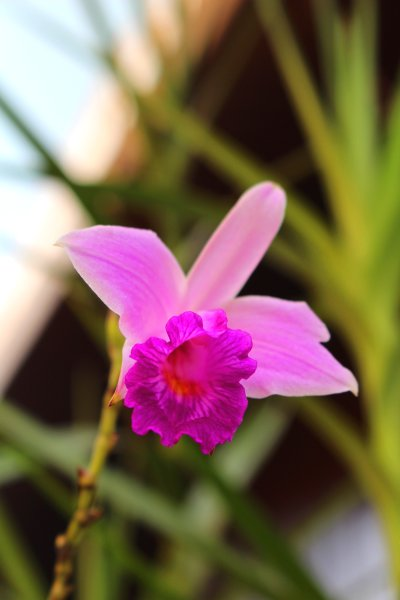 Purple bamboo orchid.