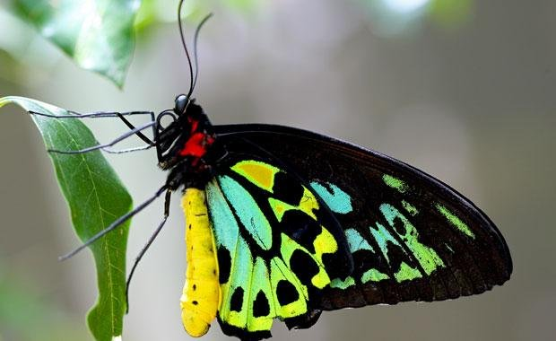 The Bird Wing Butterly - one of the many butterflies which frequent the garden.