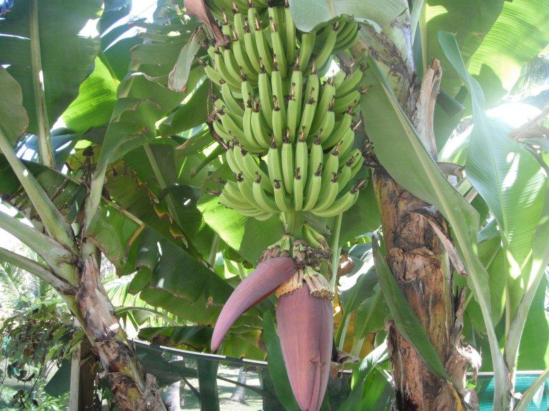 Nuestros banano orgánico, en el jardín Kaireva Beach House '.