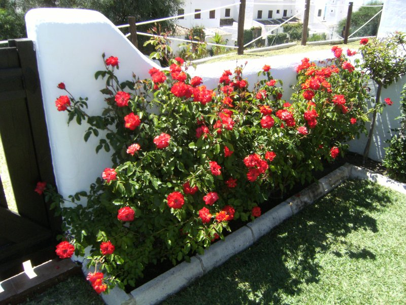 hedge of roses