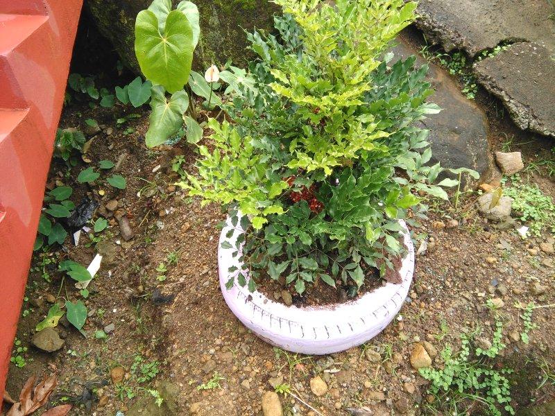 flower plant money tree