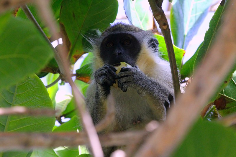 Bajan Green Monkey eating a almond nut in the garden at Seascape Beachhouse