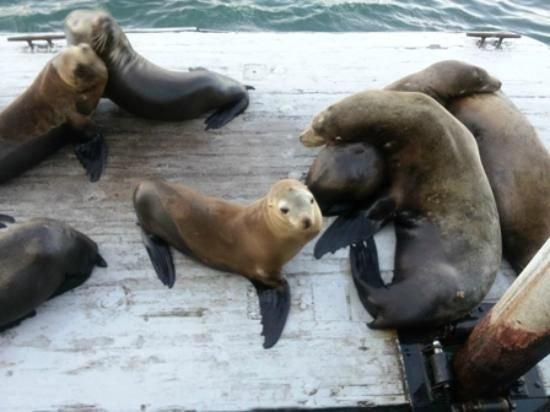 Sea Lions au quai de la promenade de Santa Cruz. Vous pouvez marcher ici de la maison