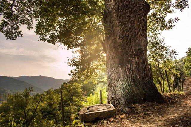 Le chêne majestueux