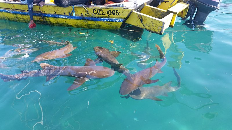 Nurse sharks by the fisherman's boat out at the Cayes.