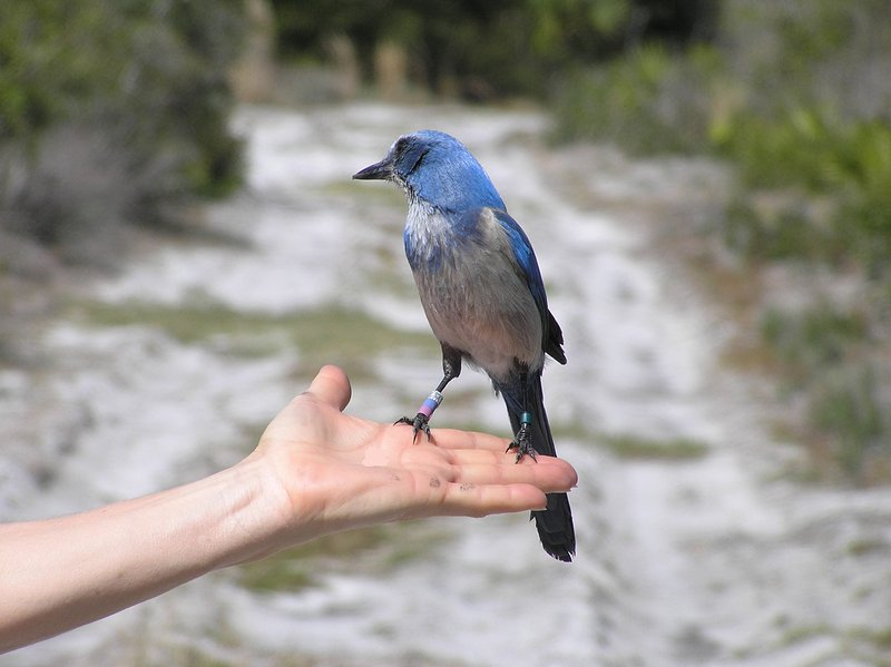 Florida Scrub Jays are funny birds! With luck you will find them in Lemon Bay Preserve 2 blocks away