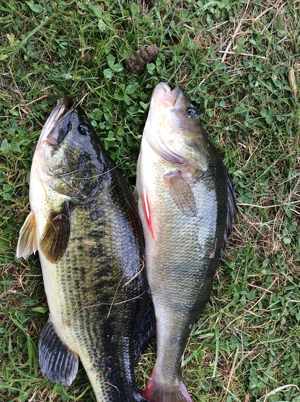 black bass and perch