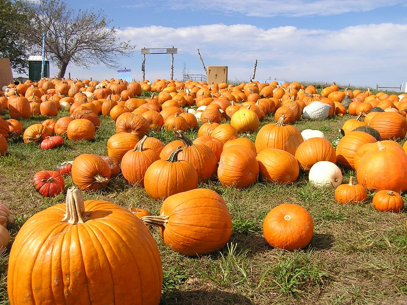 Pumpkin picking is a favorite activity on the North Fork