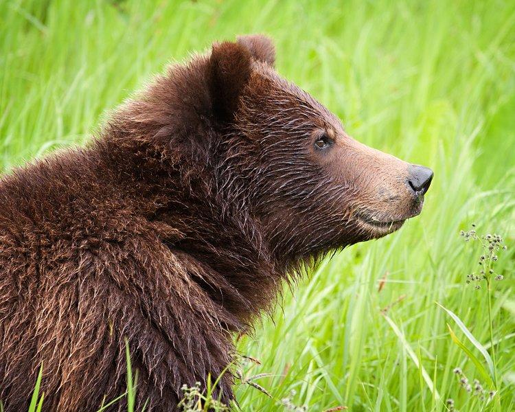 Es posible que tenga la suerte de echar un vistazo a un oso pardo o negro!