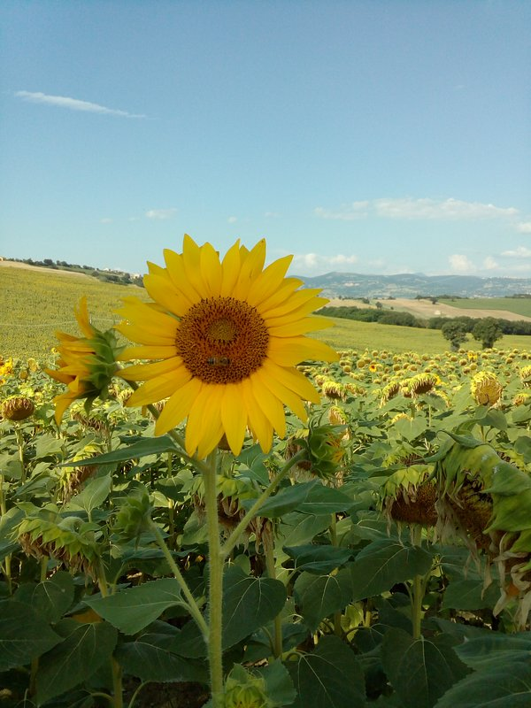The fields of sunflowers