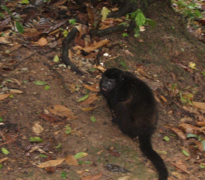 Howler Monkey från veranda