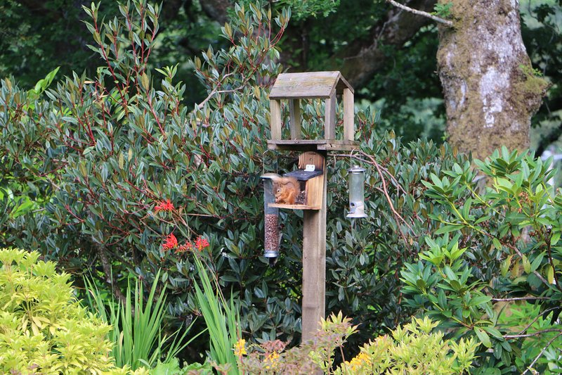 Red squirrels are regular visitors to the feeders.