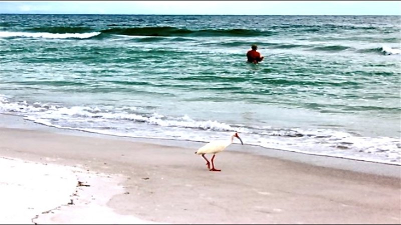 White Ibis and fisherman searching for lunch on nearby Anna Maria Island