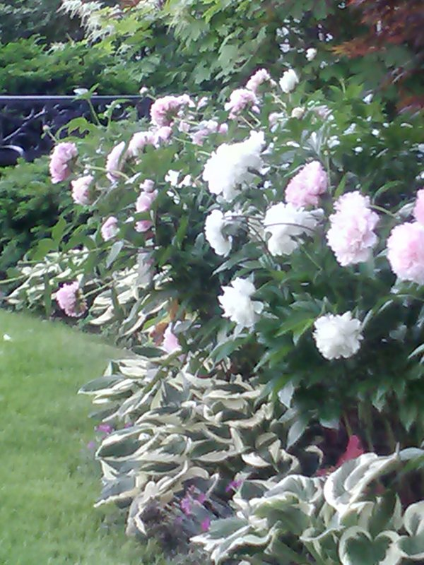 The peonies throw a party out front in May and June.