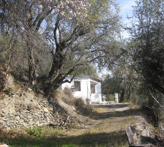 Los Perales approached via an avenue of ancient olive trees - February