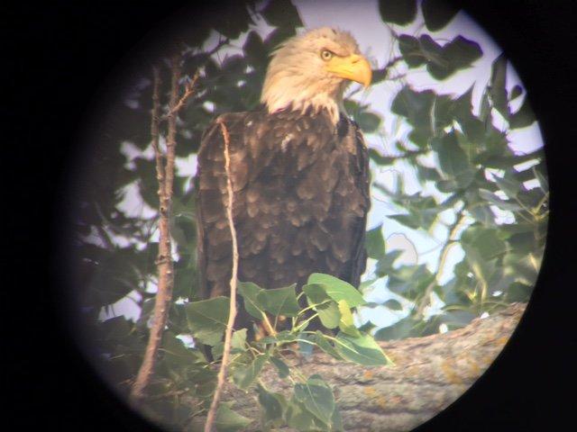 Un par de águilas que a menudo frecuentan los árboles en nuestra propiedad!