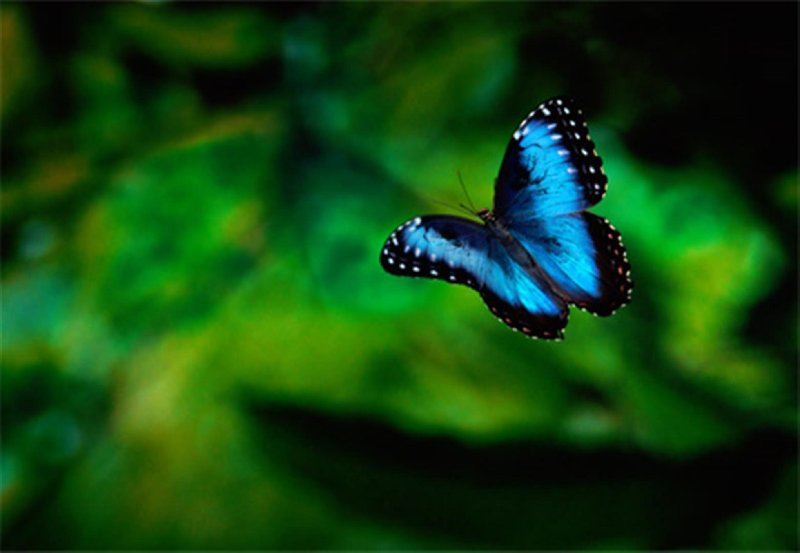 Rare Blue & Purple Morph Butterflies seen around the pool area