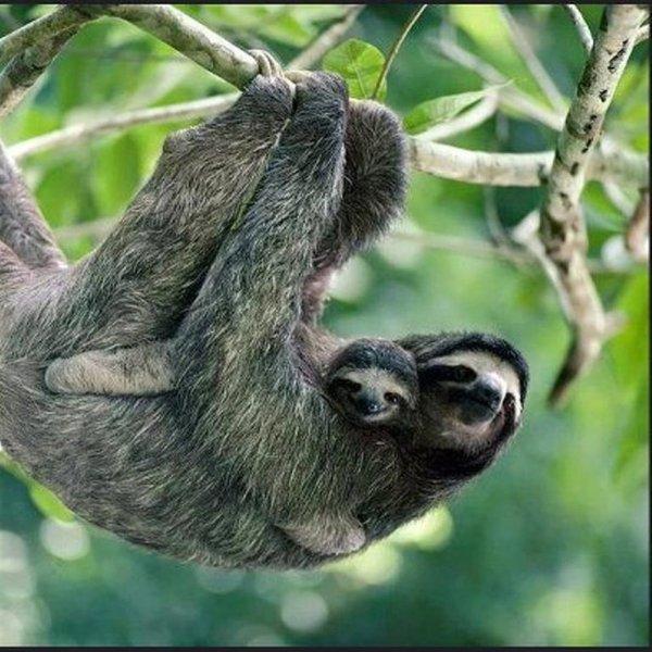 La pereza con el bebé se ve en la selva colindante