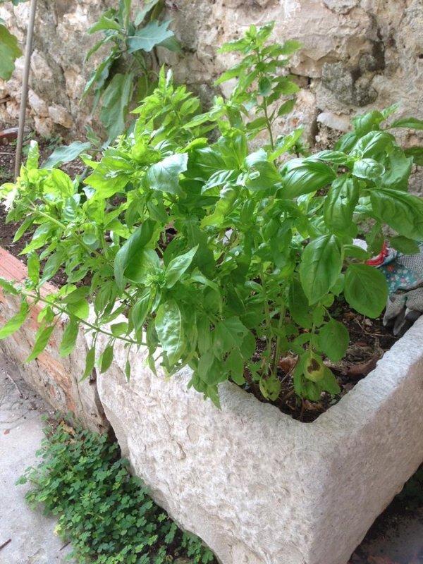 hierbas domésticas