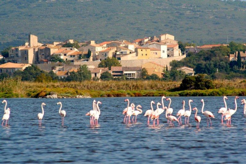 Flamingoes near Pezenas