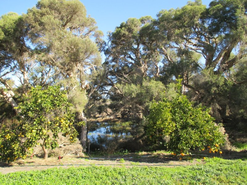A view from the house overlooking the wetlands and citrus trees.