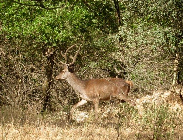 cerf local peut être vu dans les forêts de chênes autour de La Cazalla de Ronda.