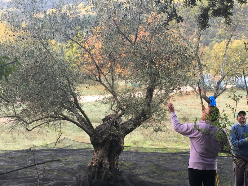 Harvesting our olives to make our single-estate, extra virgin olive oil - a gift to our guests.
