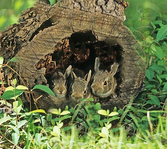 Baby Bunnies in Hollow Log.