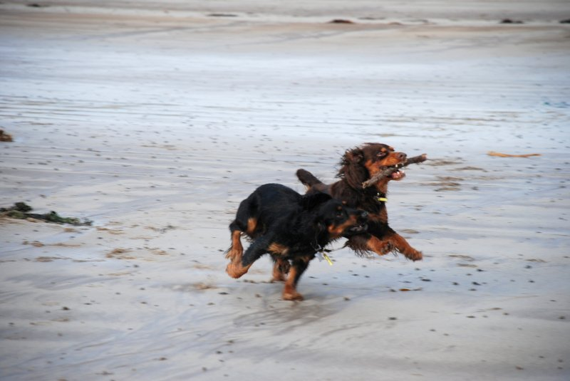 Dogs playing on Beadnell beach