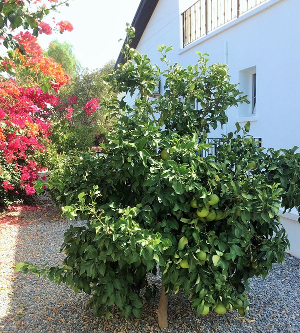 Fruit trees and bougainvillea at the rear of the house.