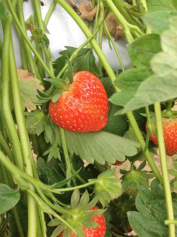 Strawberries growing at Royal Oak Farm