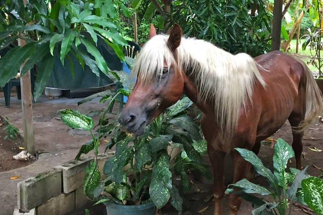 Nuestro amigo Godivo búsqueda de mangos!