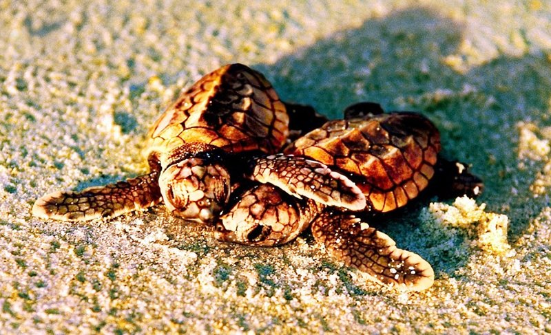 Sanibel had a record year for turtle hatchings this year!