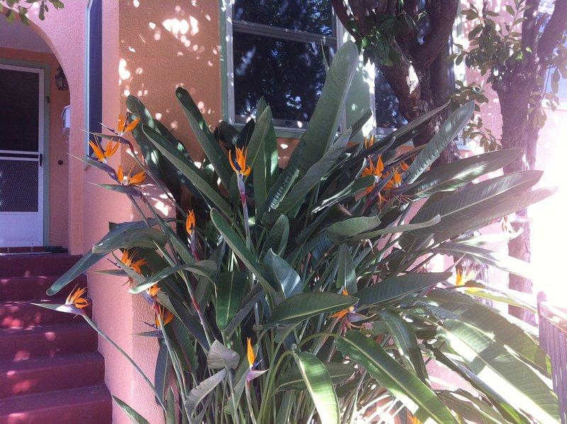Bella ingresso alla casa tri-level, con il benvenuto di uccello del paradiso cespuglio.