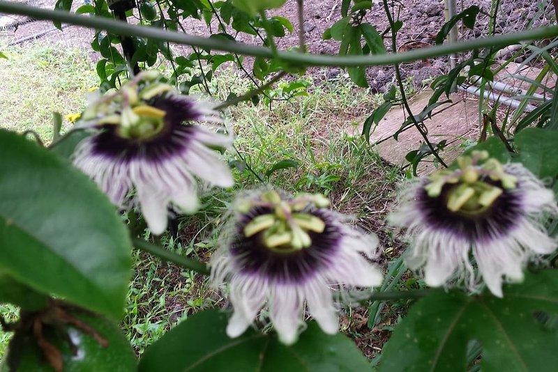 lilikoi (passionsfrukt) på gården