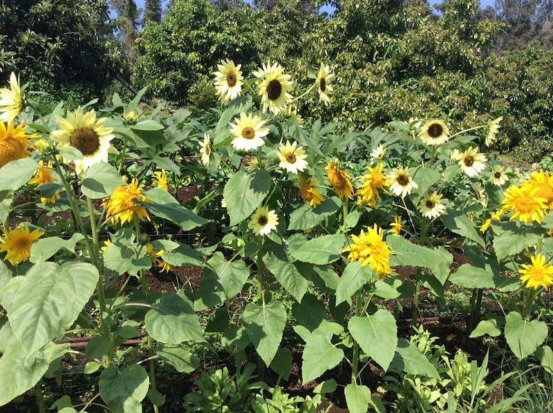 solrosor på gården